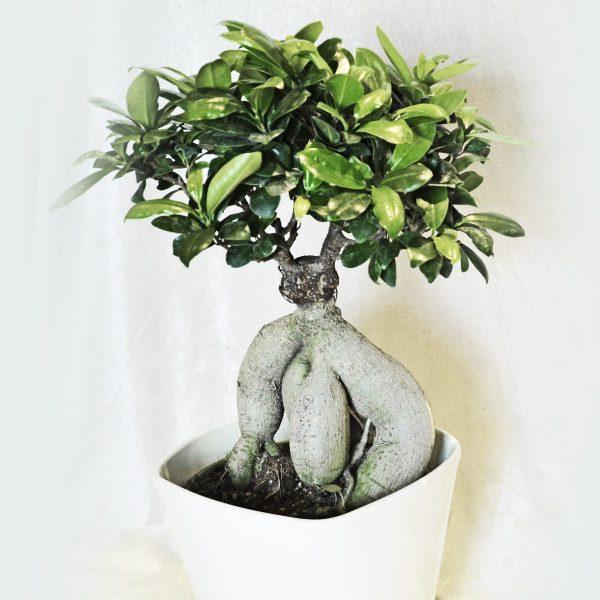 Bonsai ficus ginseng masciandaro fiori e piante - Bonsai ficus ginseng entretien ...
