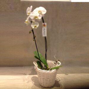 Phalenopsis gigante in cesto € 45,00