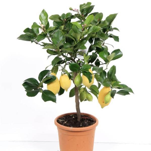 limone in vaso masciandaro fiori e piante
