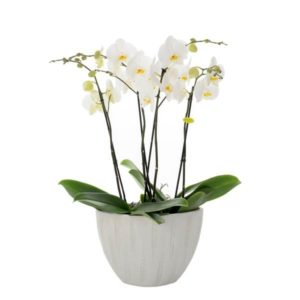 ciotola-phalenopsis-6-rami