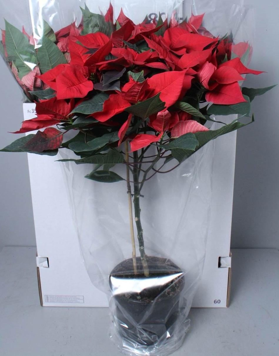 Foto Stella Di Natale.Stella Di Natale Alberello Masciandaro Fiori E Piante