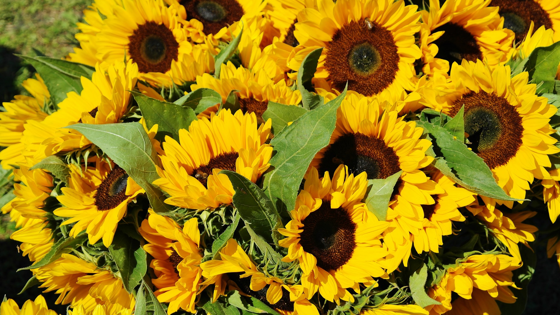 sunflower-1622785_1920